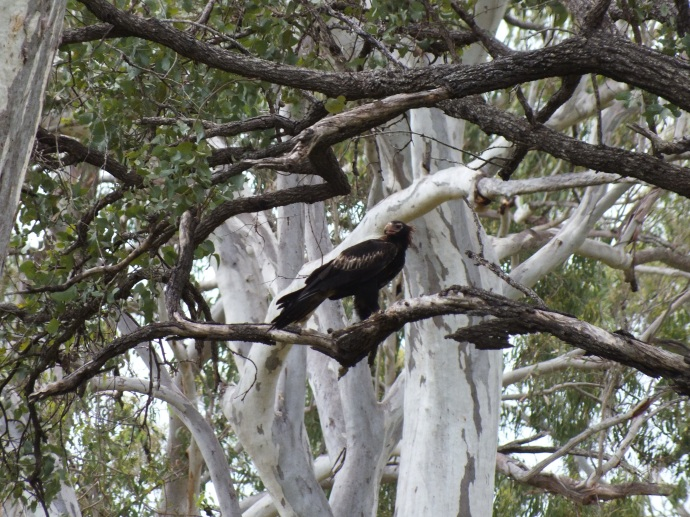 Wedge tailed eagle somewhere on a country road outside Bundaberg