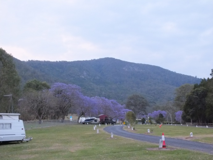 Beautiful Jacaranda trees around the campground.