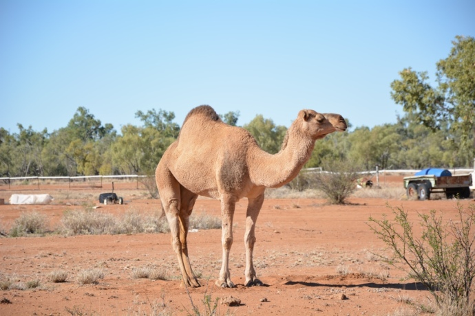 Spotted our first camel in Boulia