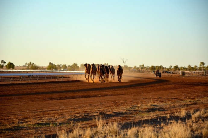 Camels in training