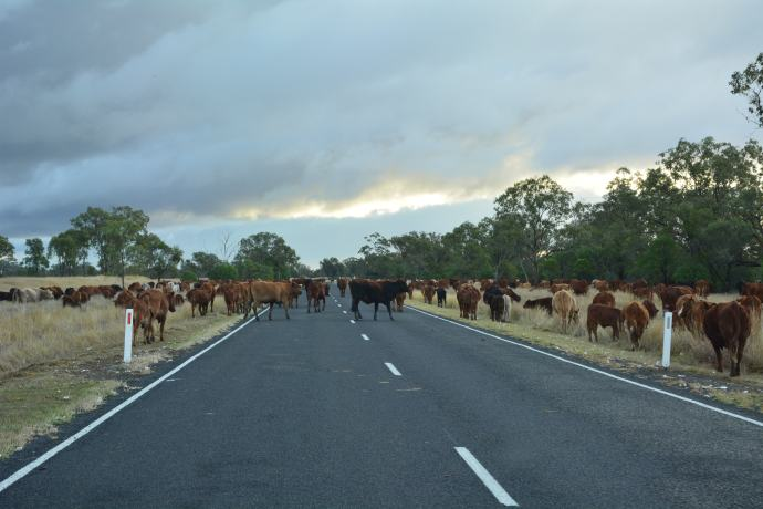 Was a little funny driving through a herd of cattle with our big rig!