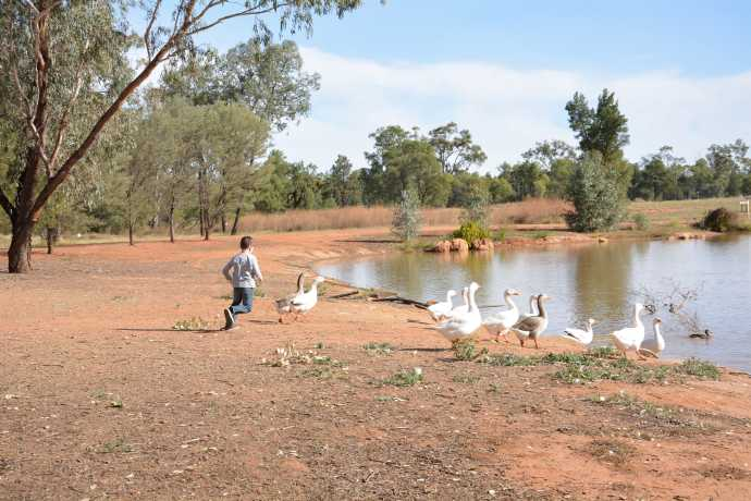 Chasing the geese at the park in Charleville
