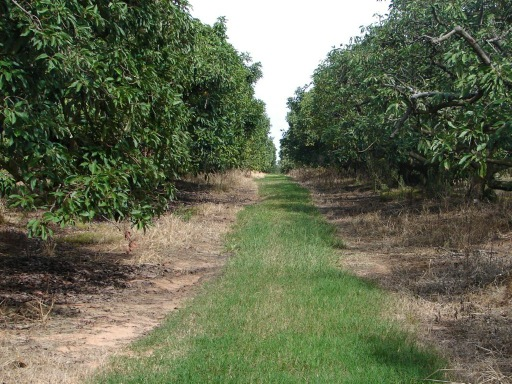 Our new home - 153 acres of Mangos, Avocados, Limes and Passionfruit
