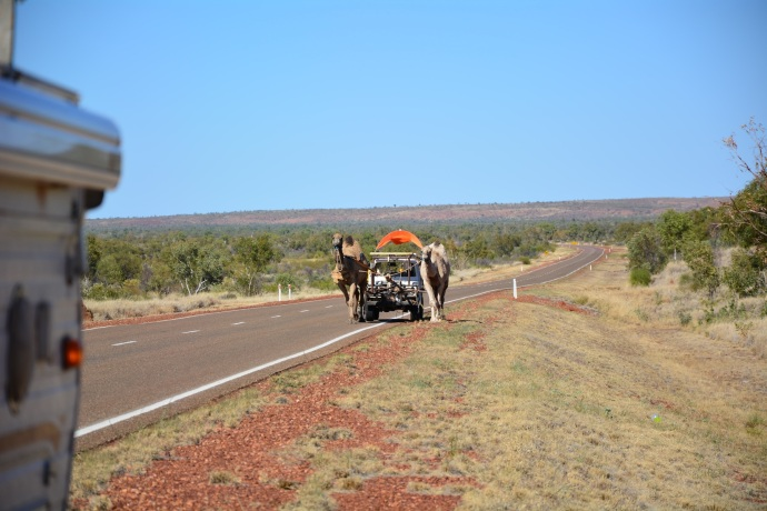 Camels towing a ute on the Stuart Highway today