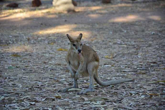 Cheeky wallabies at the campground who kept trying to get in to our rubbish!