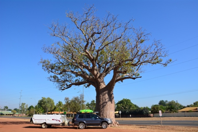 Boab Tree in Kunnunurra