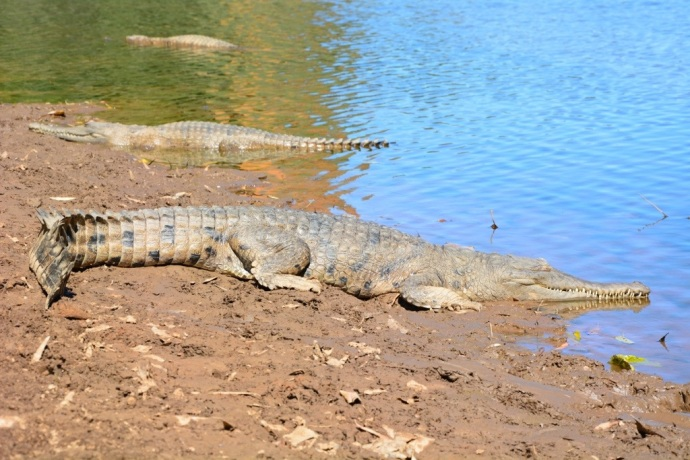 Freshwater Crododiles at Windjiana Gorge