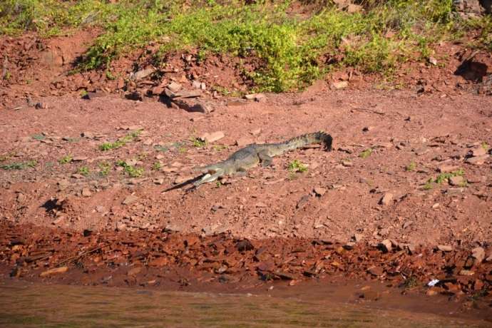 We got to spot our first freshwater crocodile