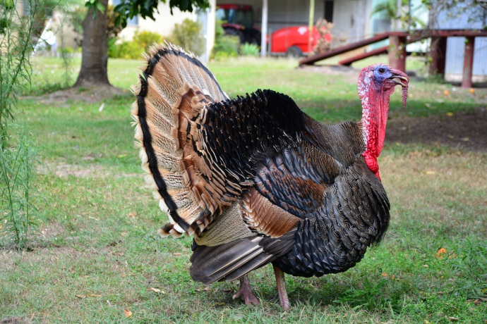 Meet 'Mr Turkey'