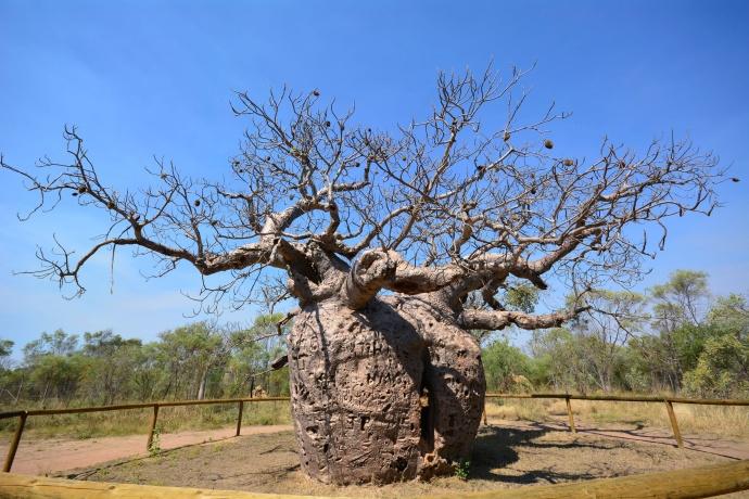 Prison Boab Tree - Derby