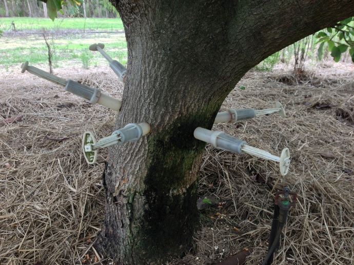 Injecting the avocado trees to kill disease