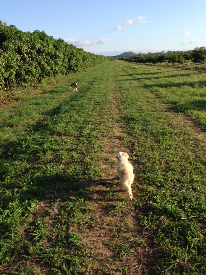 Afternoon walk around the orchard with the dogs.