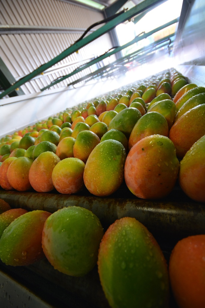View of mangoes from the top of the desapper