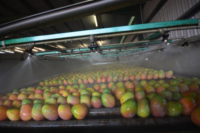 Mangoes having a wash with citrus soap which breaks down the sap.