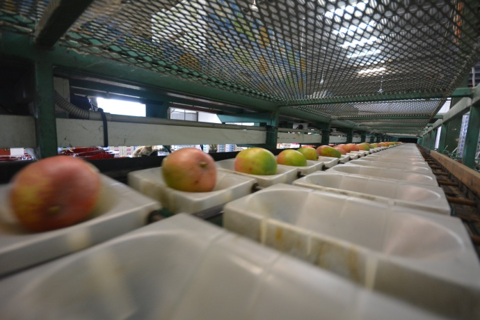 Mangoes getting weighed and sorted by size on the grading line.