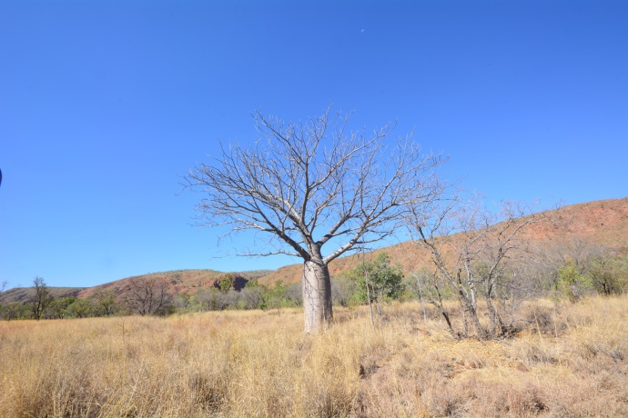 Gotta have another Boab Tree photo in there before we leave Western Australia!