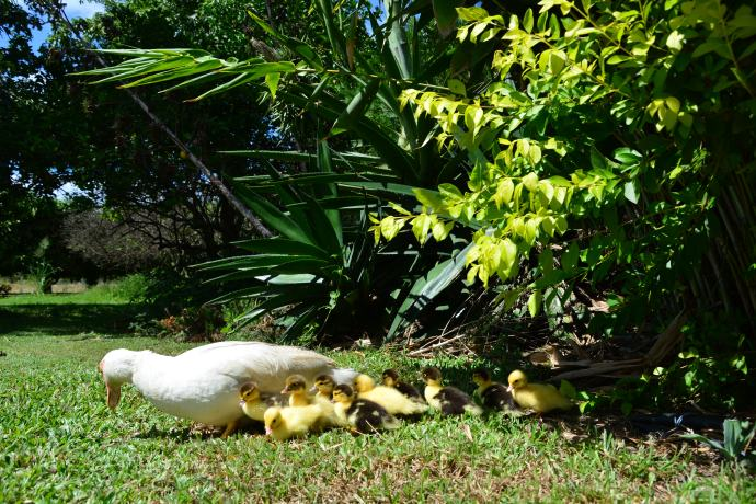 10 Brand Spanking New Ducklings - good job mother 'Georgia'!